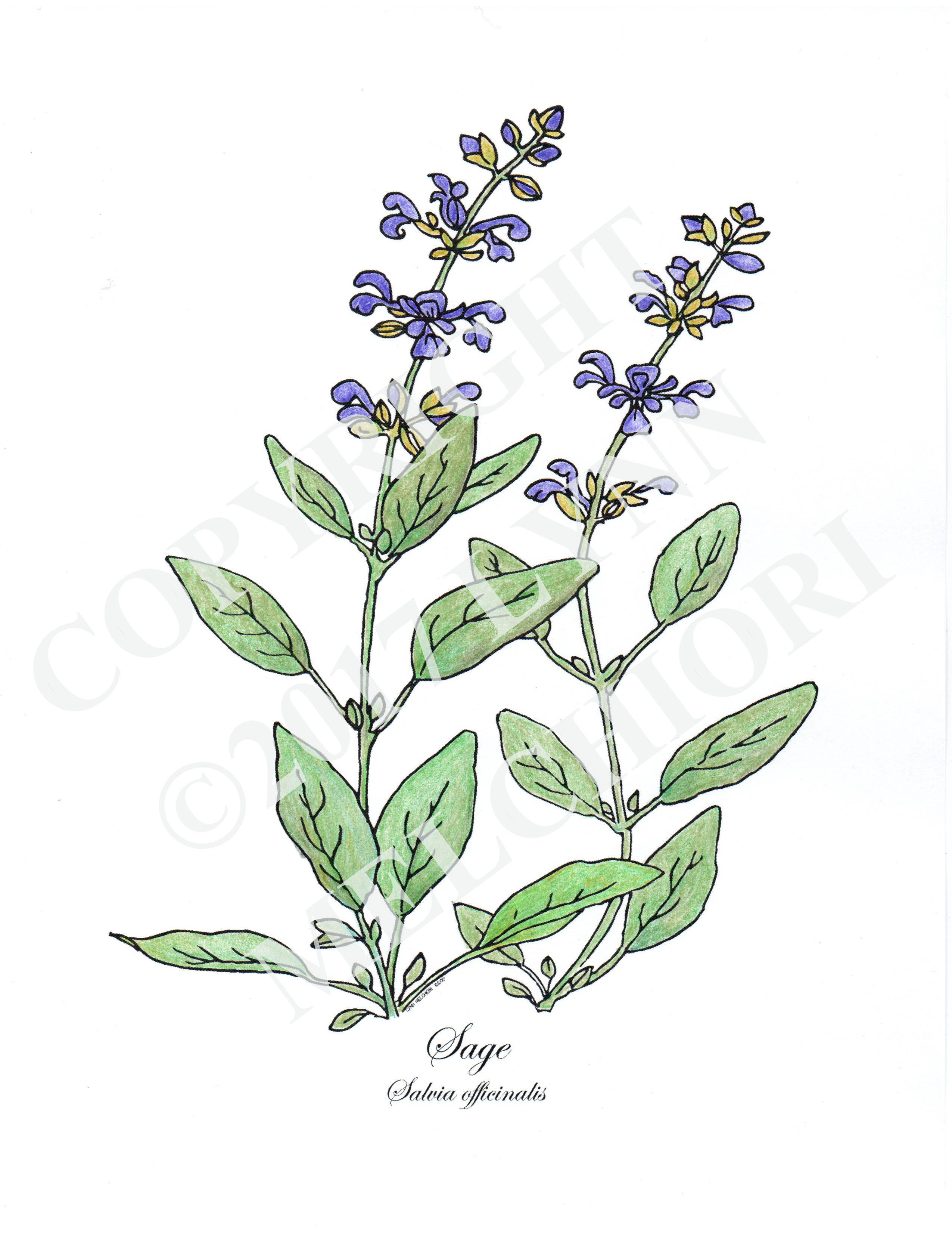 Drawing of the herb, Sage.  Colored with colered pencils.  From the Herbs coloring book